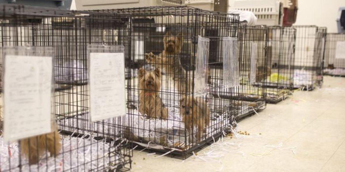 18 Yorkies rescued from 'deplorable' conditions ready for adoption