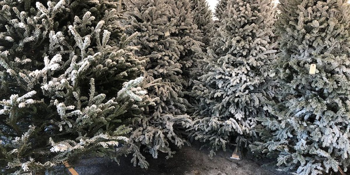 Families shopping for Christmas trees ahead of the Thanksgiving holiday