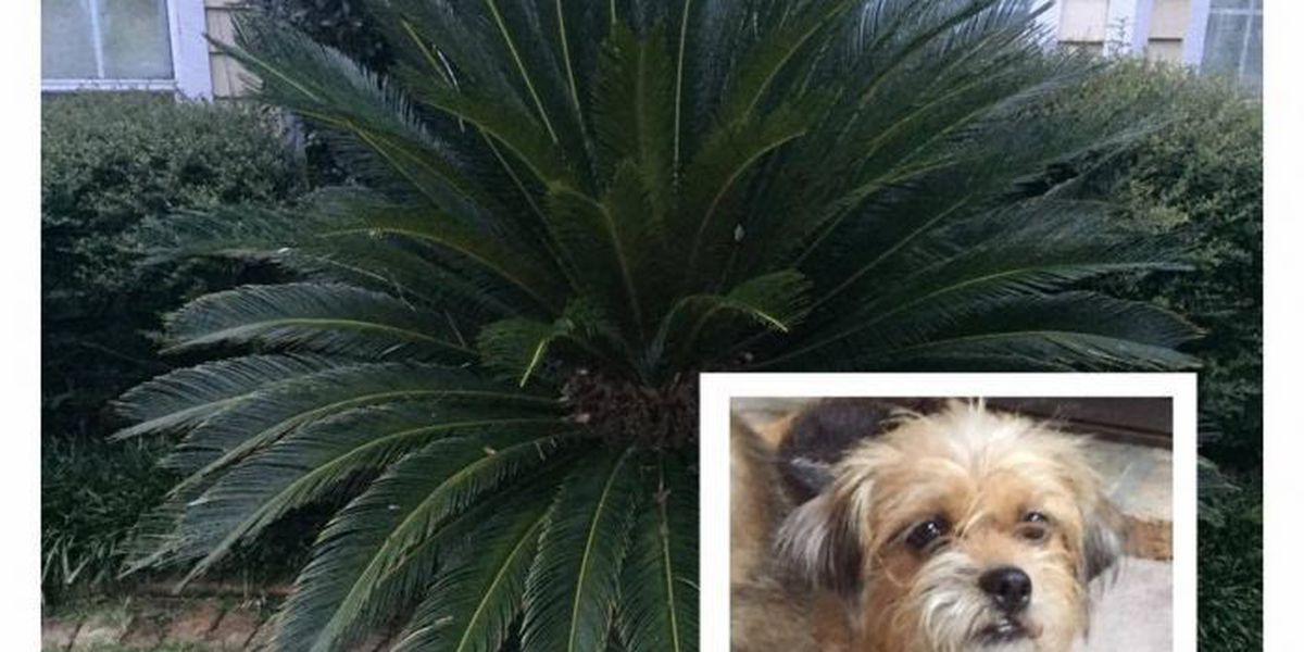 Popular sago palms can be a deadly danger to pets