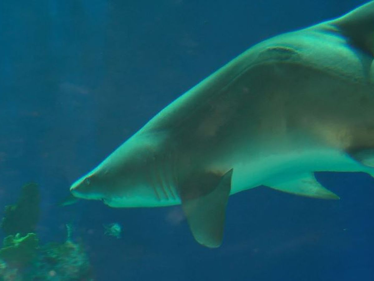 Stella the sand shark is back at Mississippi Aquarium after surgery