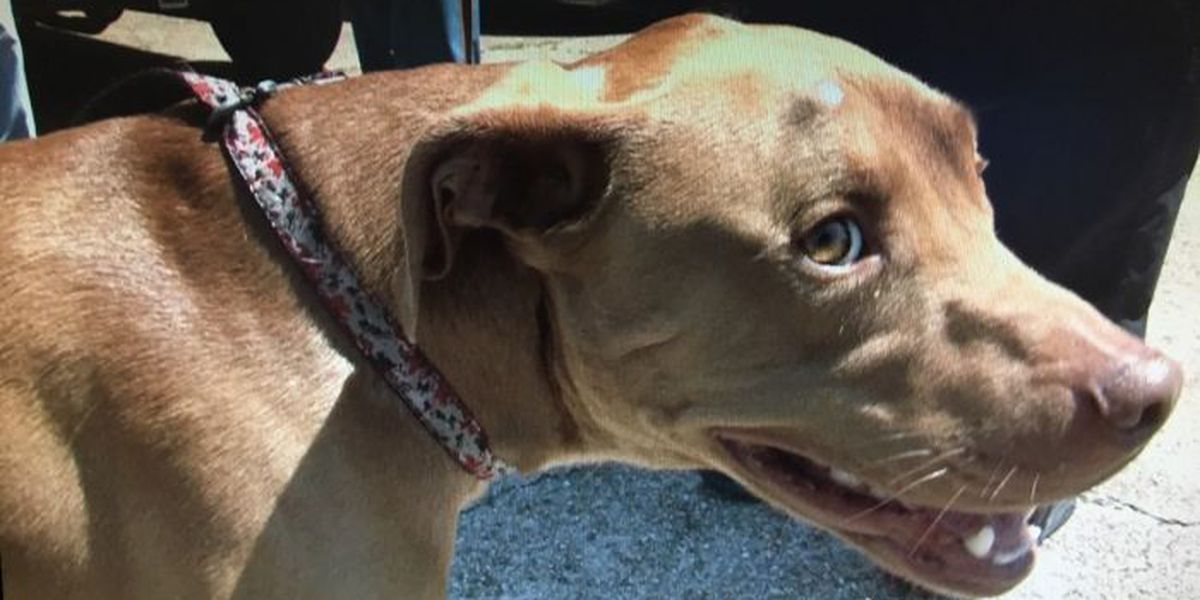 Pit bull commended for warding off armed intruders