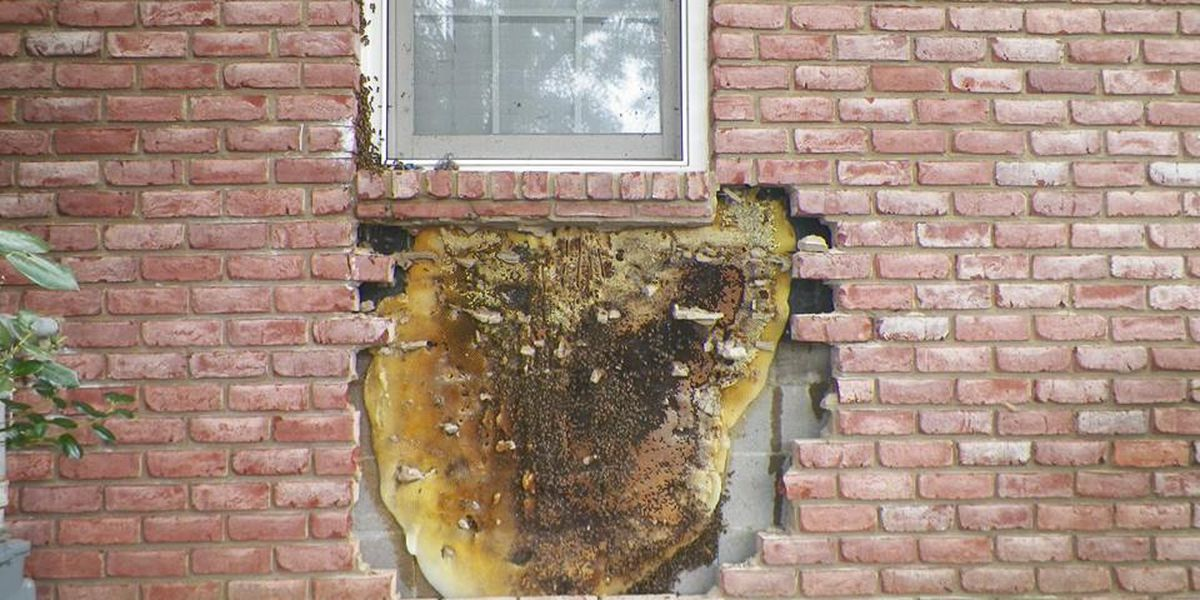 Beekeepers remove massive honeycomb from behind brick on house