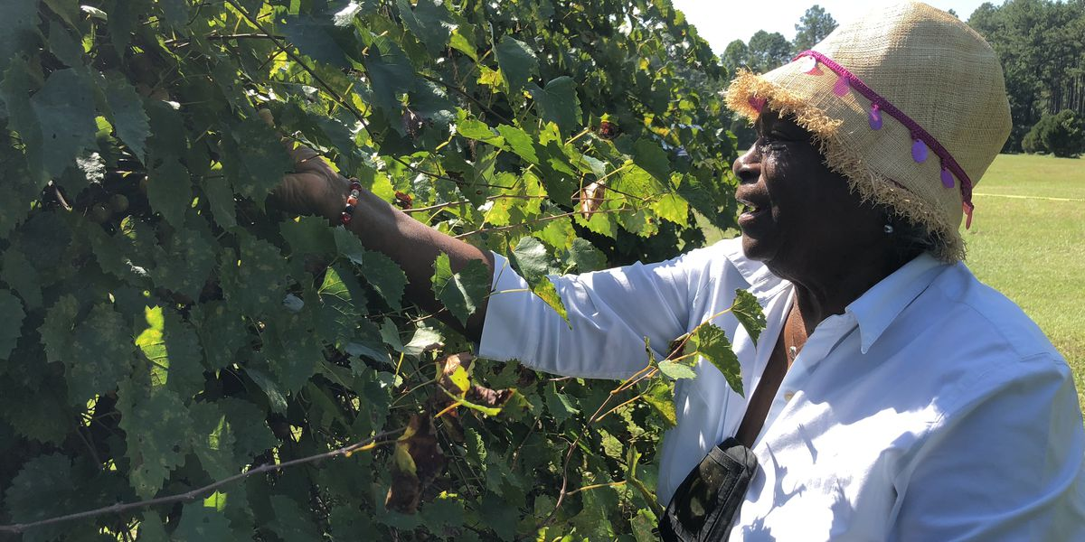 Step up and pick your own muscadine grapes at Vancleave vineyard
