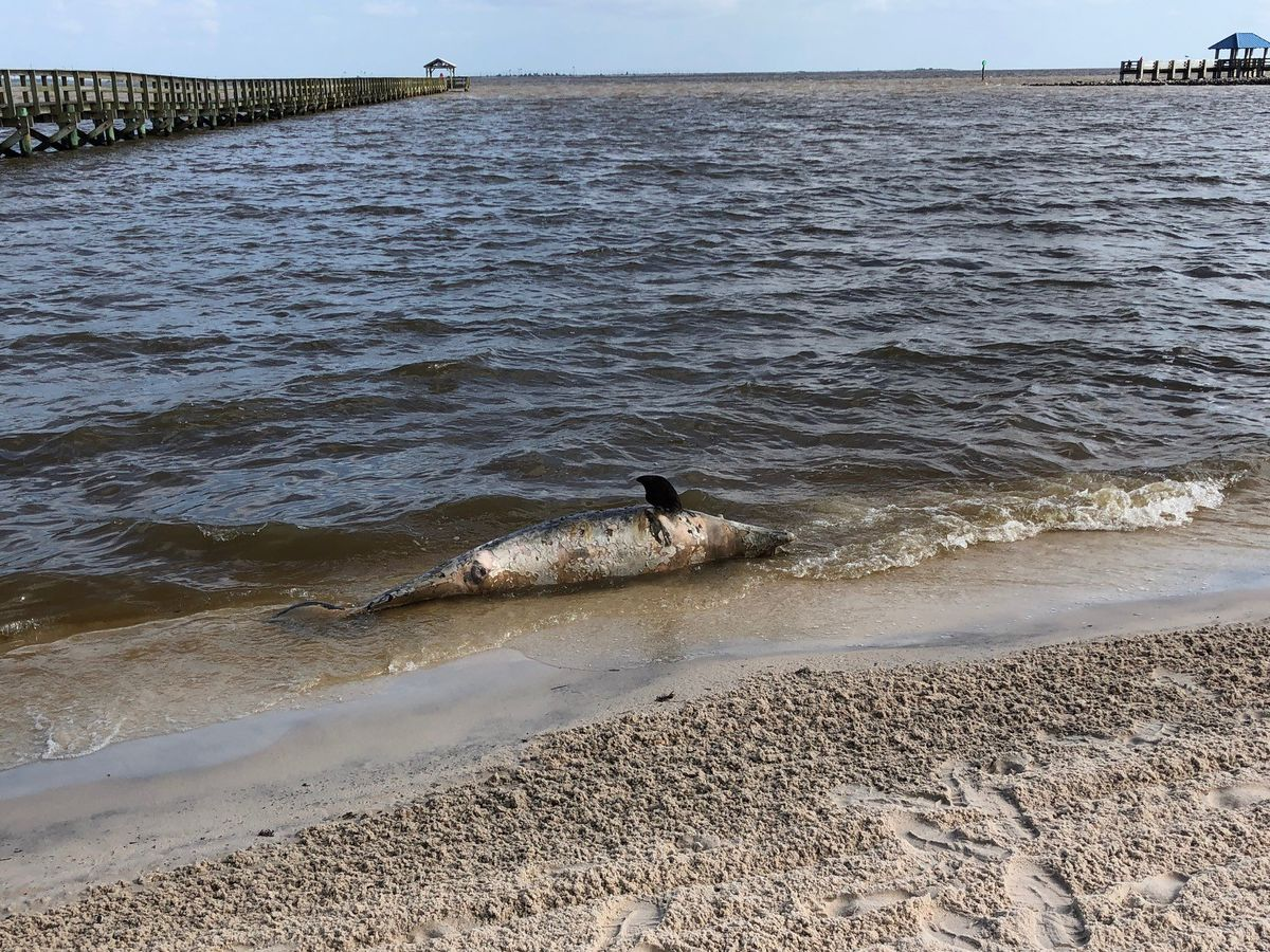NOAA launches federal investigation into Gulf dolphin deaths