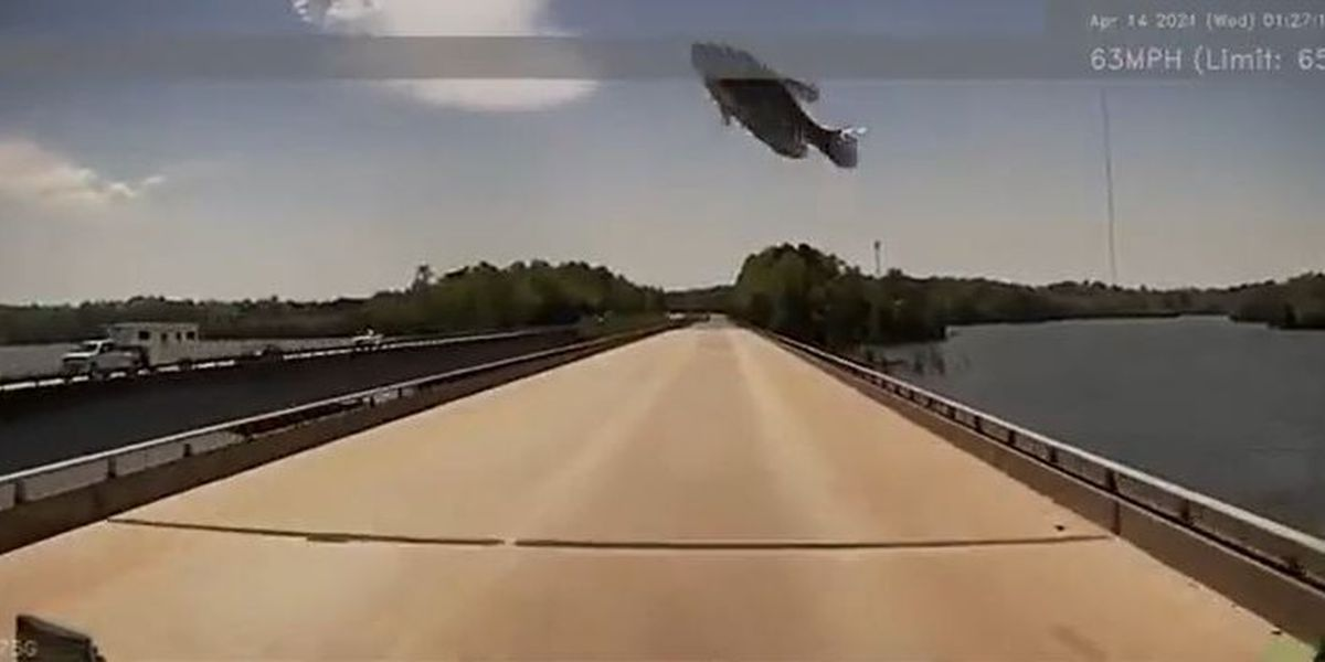 WATCH: Fish caught by hungry bird, then dropped from the sky, lands on trucker's windshield