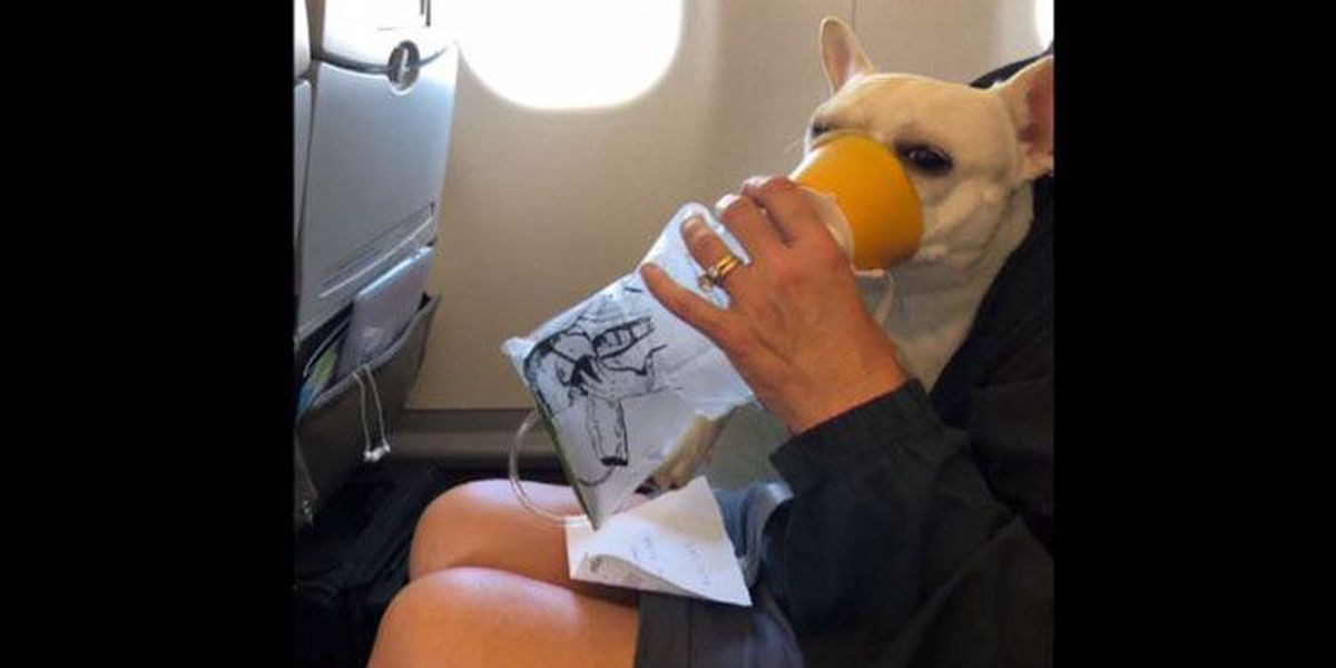 Darcy the French Bulldog saved by flight attendants with oxygen mask, letter says