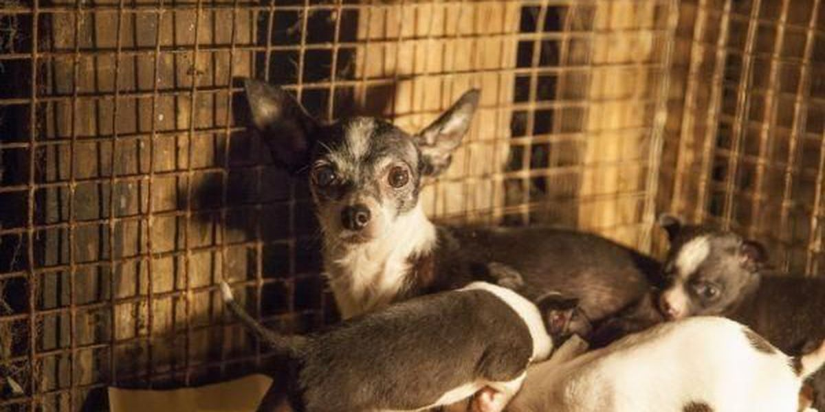 "Humane Society of the US: Flea markets have become haven for ""puppy mills"""