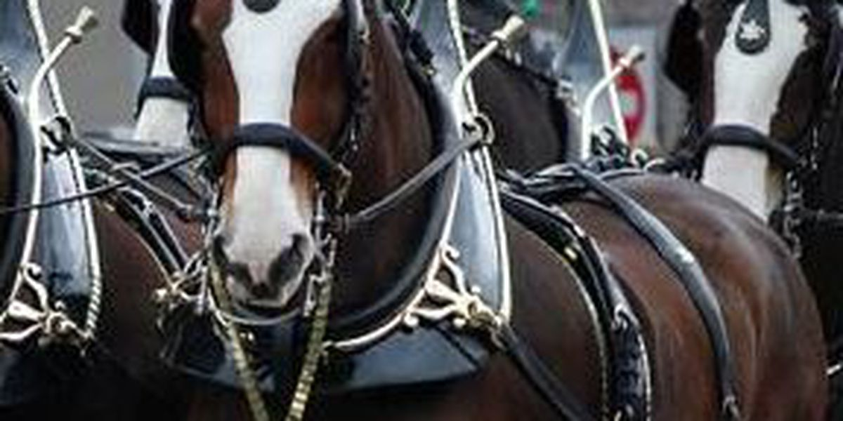 Budweiser Clydesdale horses bring tour to several cities on the Gulf Coast