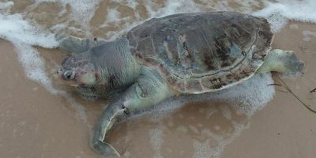 IMMS: 3 endangered turtles found dead in 1 day