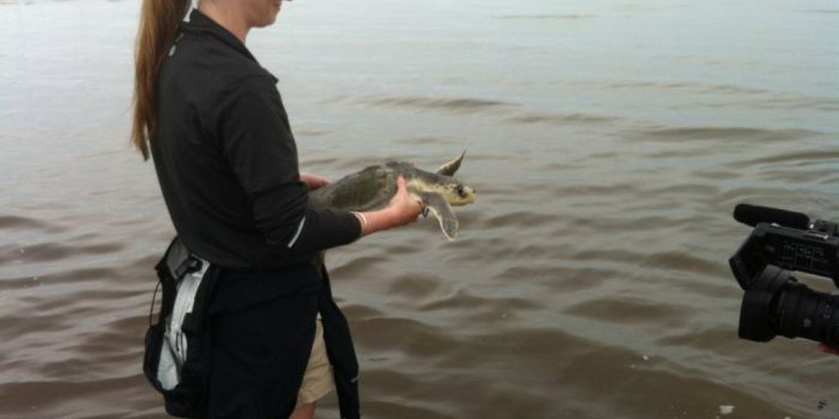 Rehabilitated sea turtles released into the Mississippi Sound