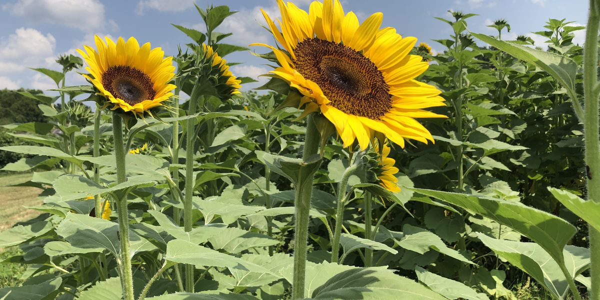 VIDEO: Take a tour of a South Mississippi sunflower farm