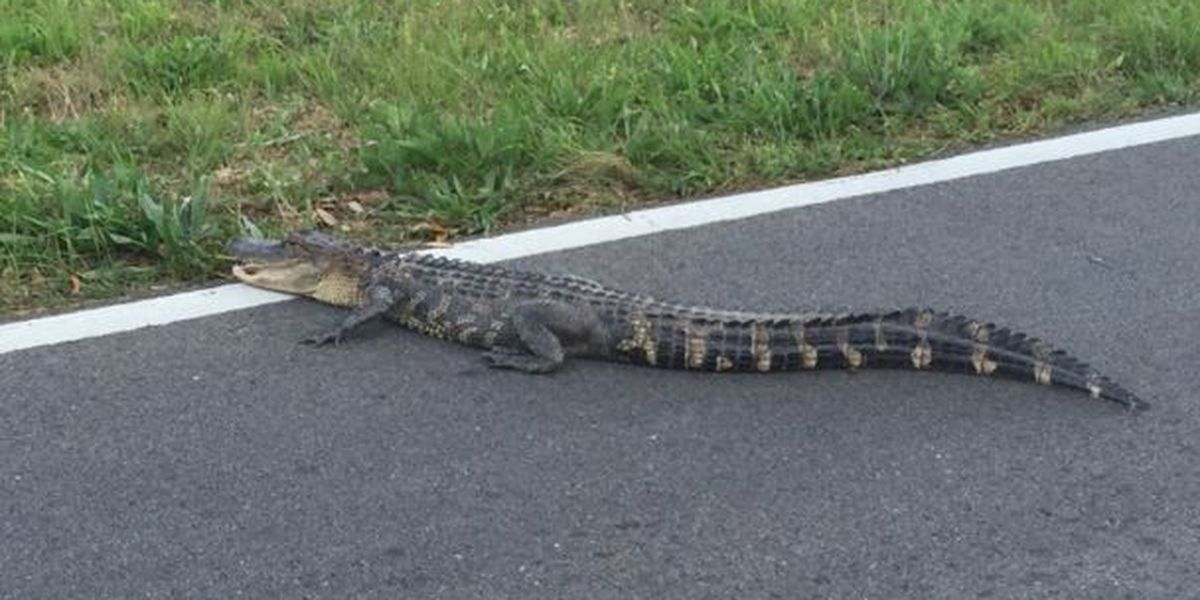 Gator spotted crossing road in Gulfport