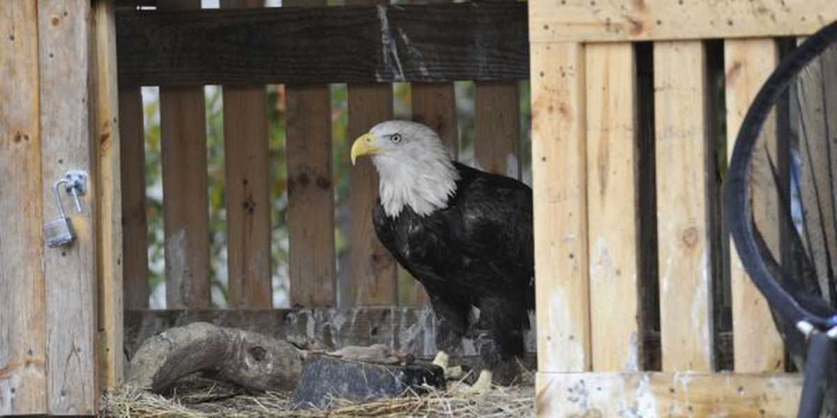 Eagle returned to the wild after run-in with power line