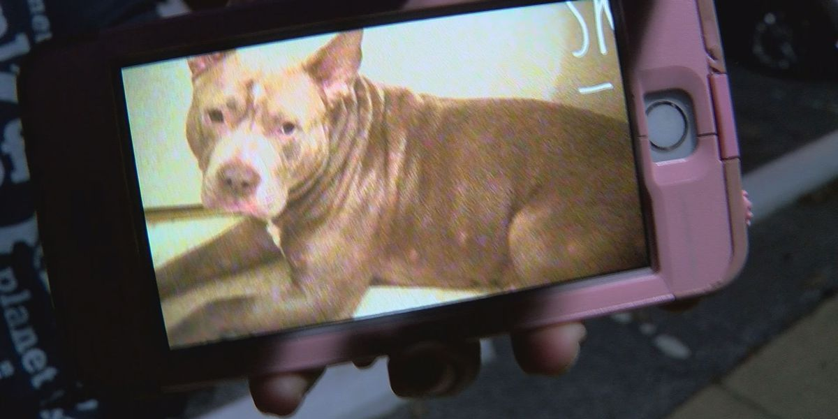 Pit bull recovering after coming to the rescue during home invasion