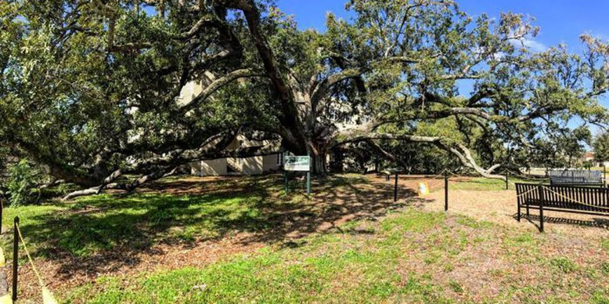 Damaged limb to be removed from USM's Friendship Oak