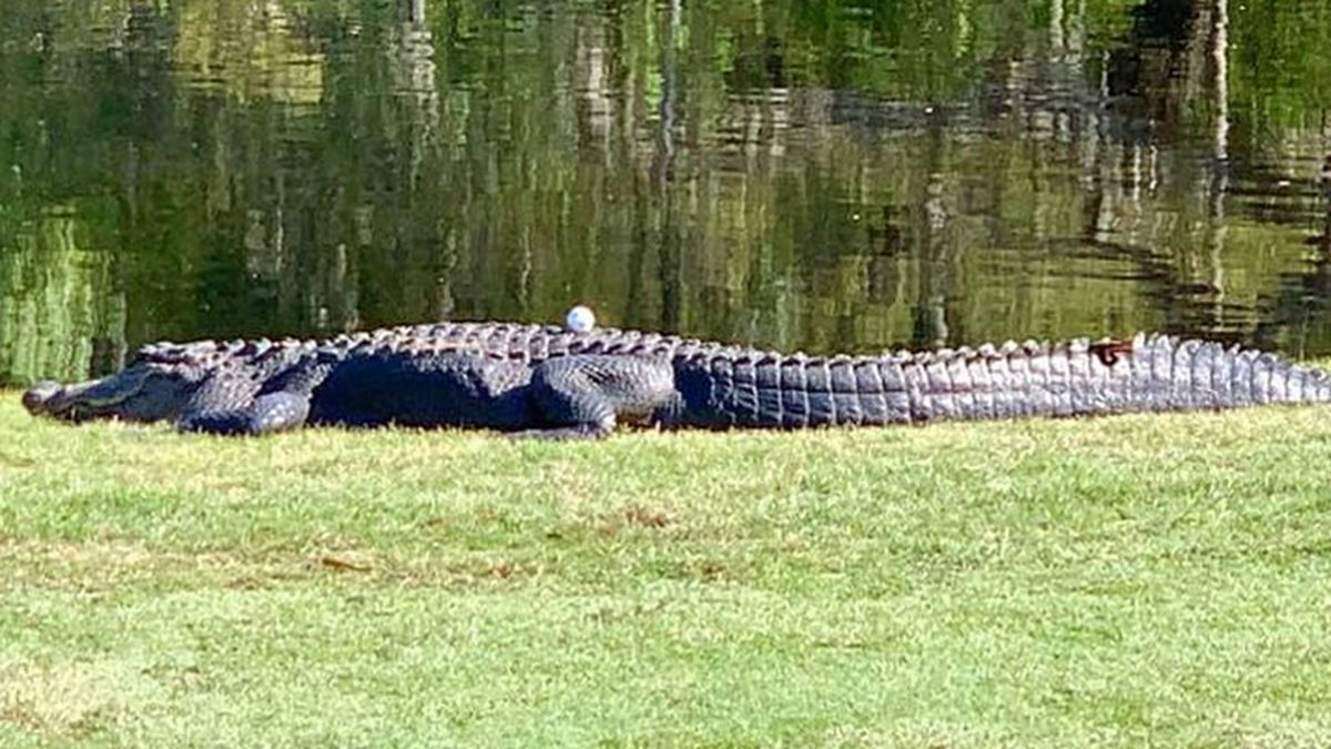 Applications for alligator hunting permits begins June 1