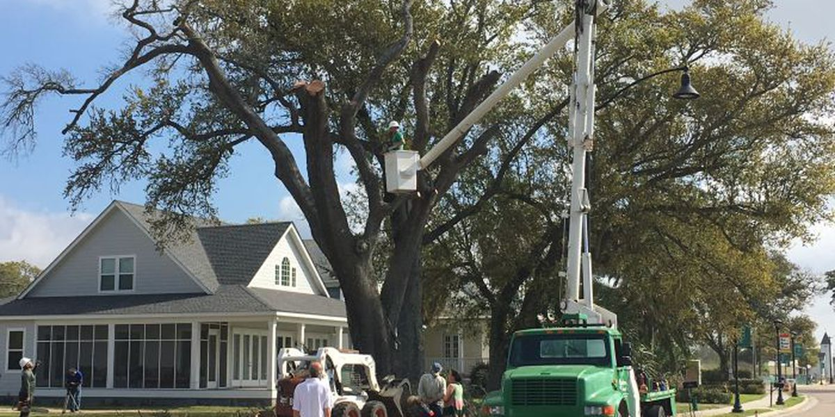 Dead oak will see new life as a wooden ship