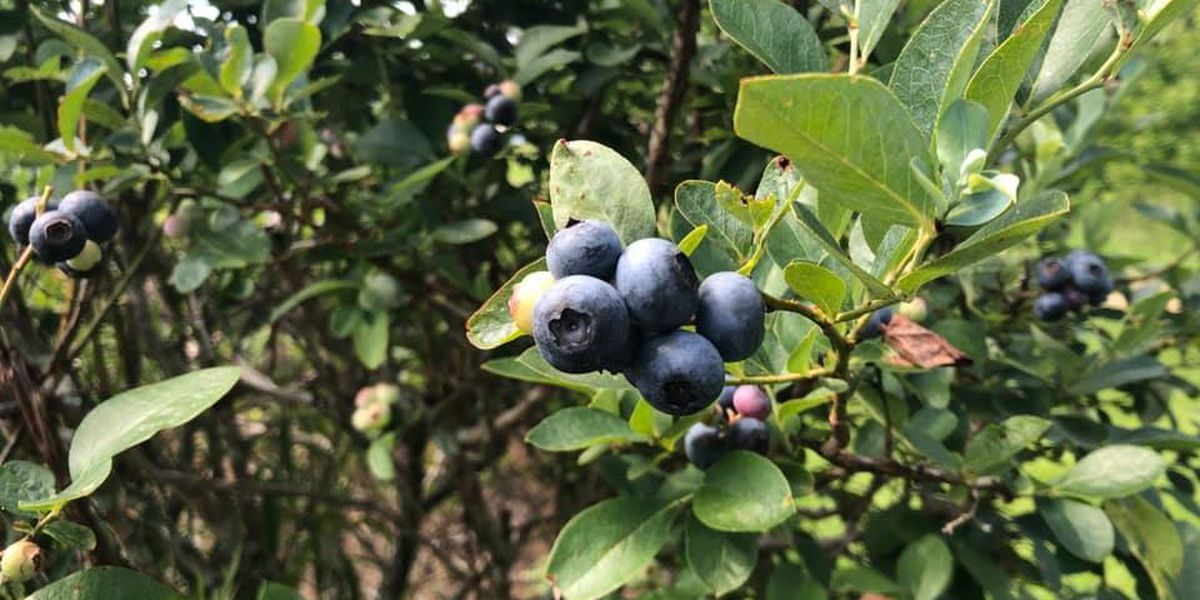 Blueberry picking season is in full swing