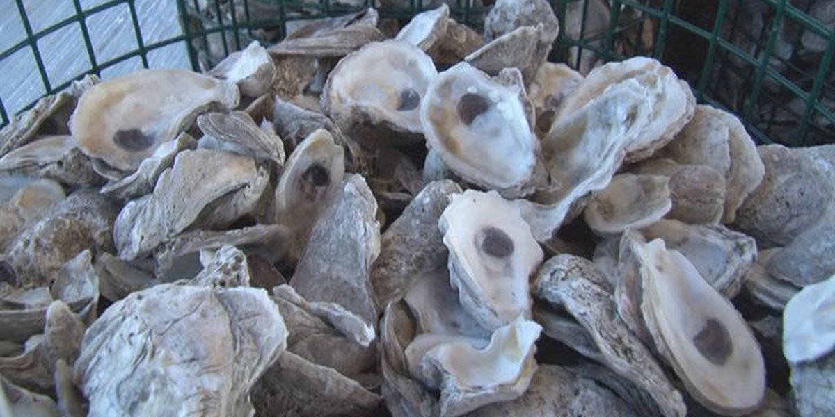 Oyster harvest about as expected during limited season