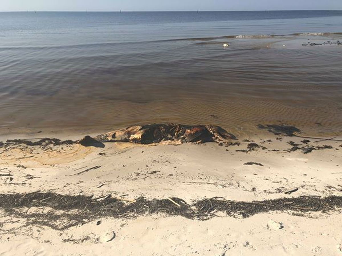 Resident Spots Dead Dolphins On Biloxi Beach