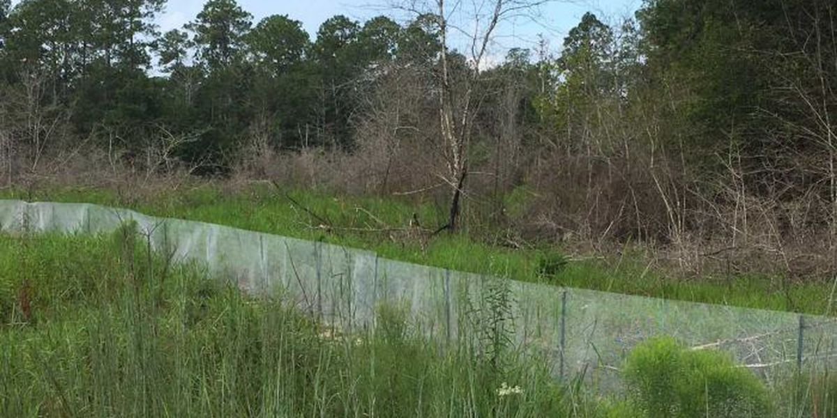 Threatened species thrive in restored longleaf pine habitat