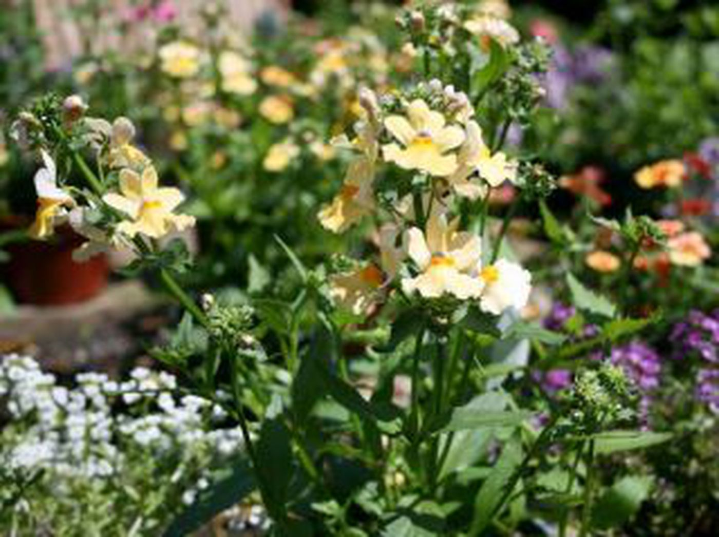 Southern Gardening Nemesia Erysimum Brighten The Spring Garden