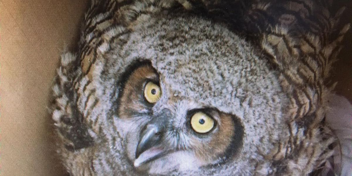 Rescue group works to save orphaned baby owls