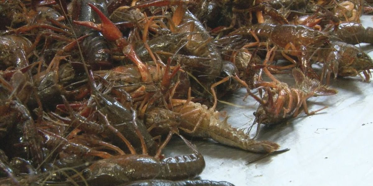 Cold weather impacting crawfish supply