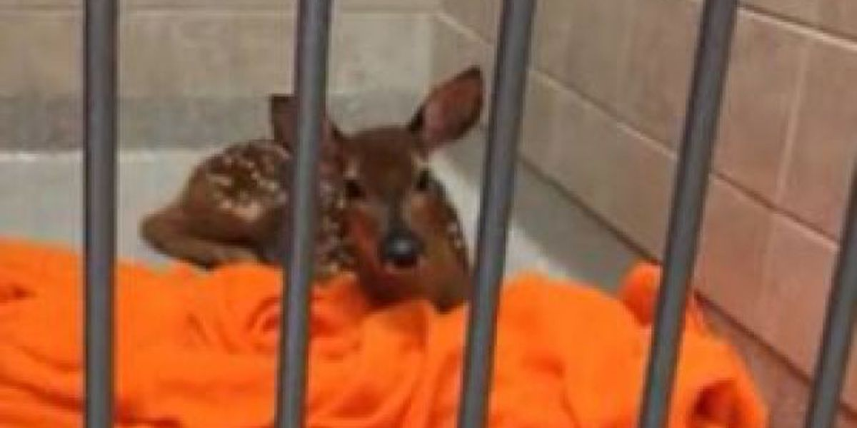 Injured deer receives life-saving treatment