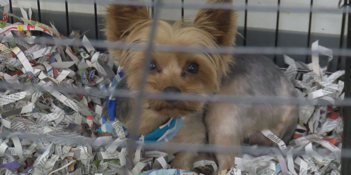 Humane Society overwhelmed by demand for rescued Yorkies