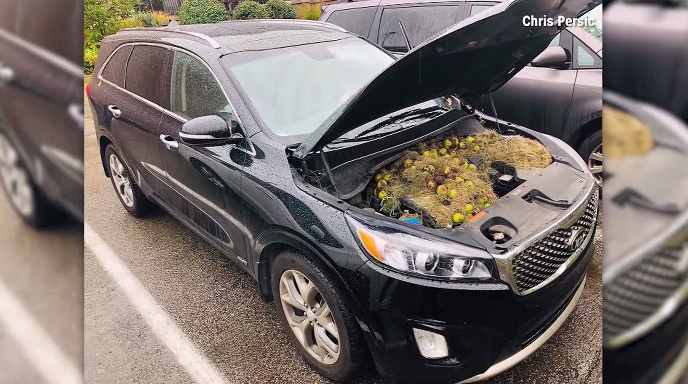 Holly Persic discovered the stash of walnuts, grass and hay after she smelled burning and heard a weird noise from her car.
