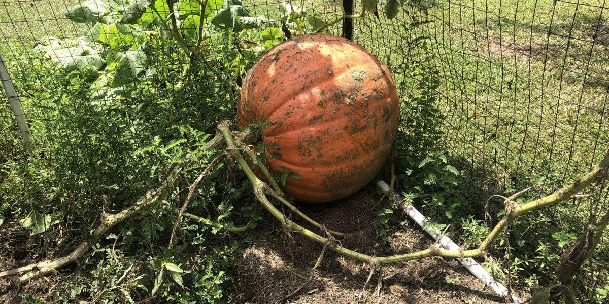 200-pound pumpkin harvests in Harrison County