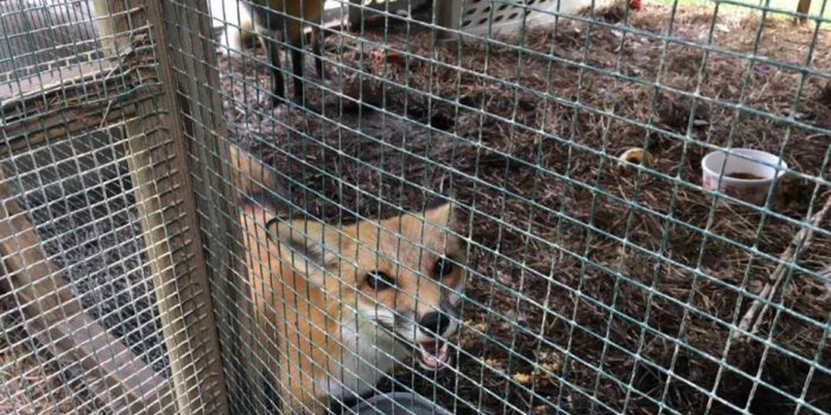 Wild at Heart Rescue helping animals injured in Nate