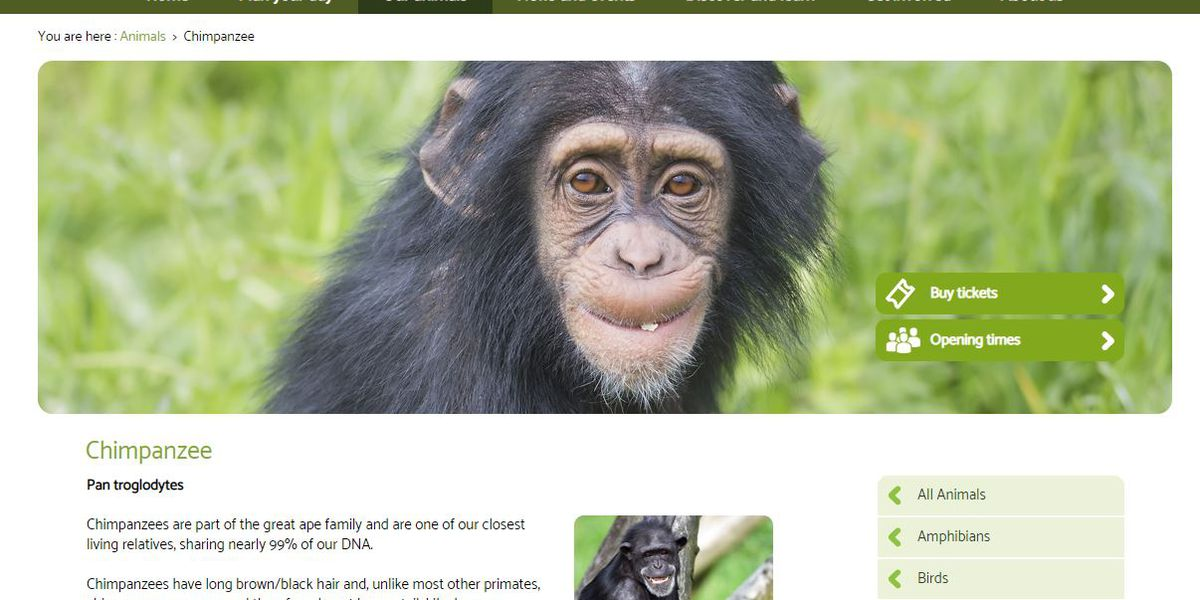 Chimps used a branch to make ladder to escape their enclosure at the Belfast Zoo
