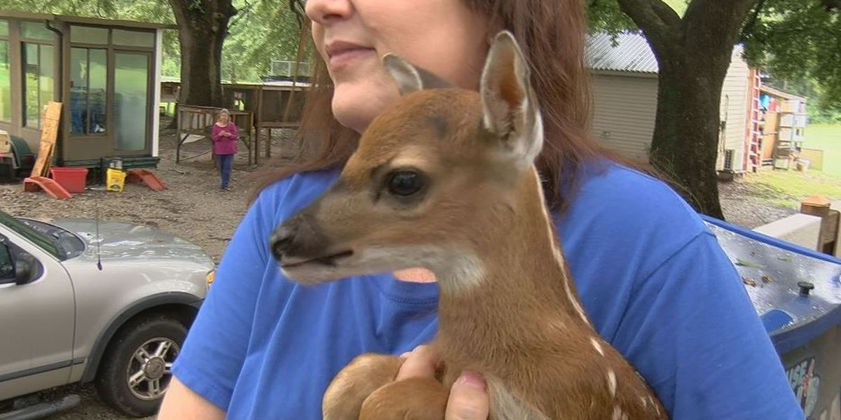 Gulfport hunter saves fawn from flood water