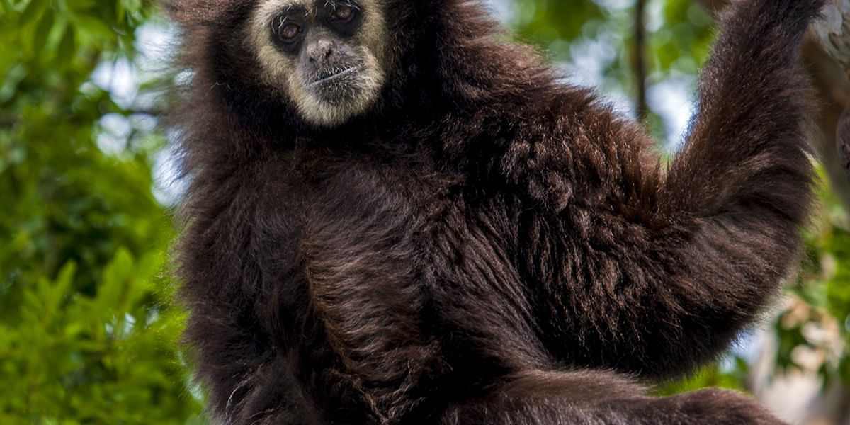 Aged gibbon dies unexpectedly at Santa Barbara Zoo