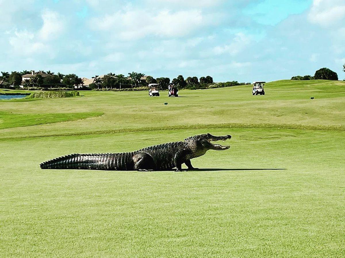 WATCH: 10-foot-long alligator strolls across Florida golf course