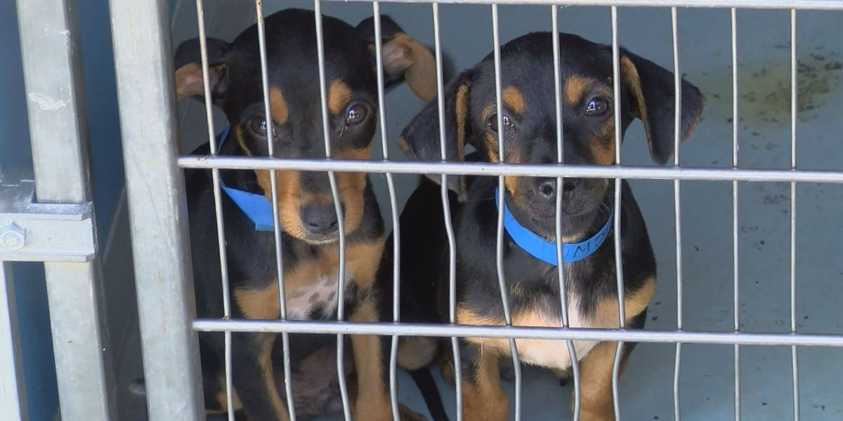 60 dogs seized from Hancock County home