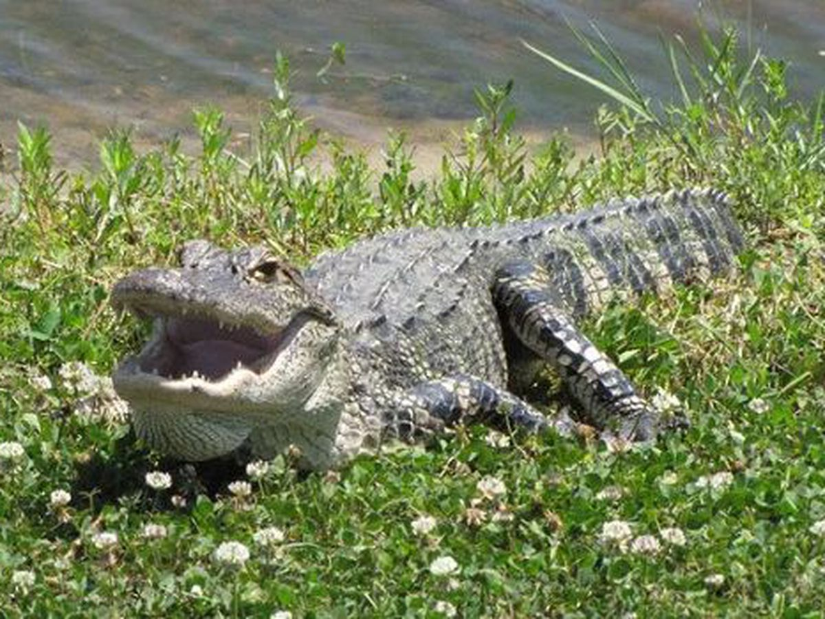 VIDEO: Police chief chases off alligator with a shopping cart