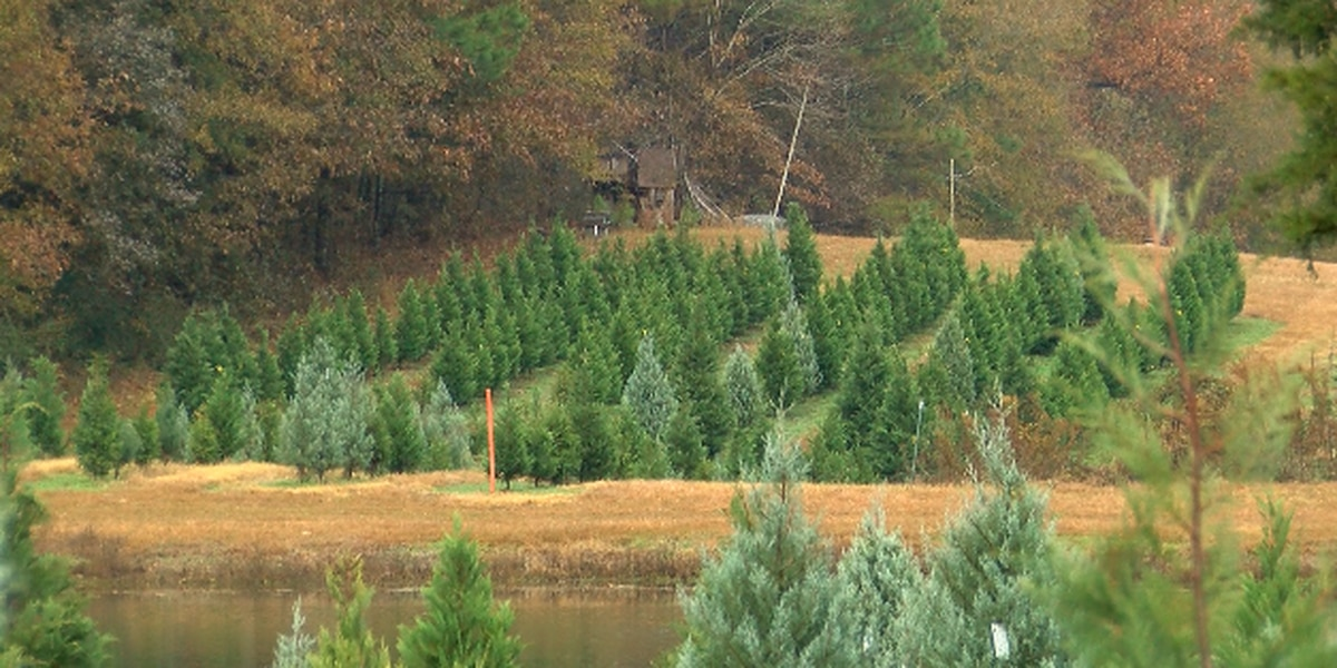 National Christmas tree shortage not impacting trees grown in Mississippi