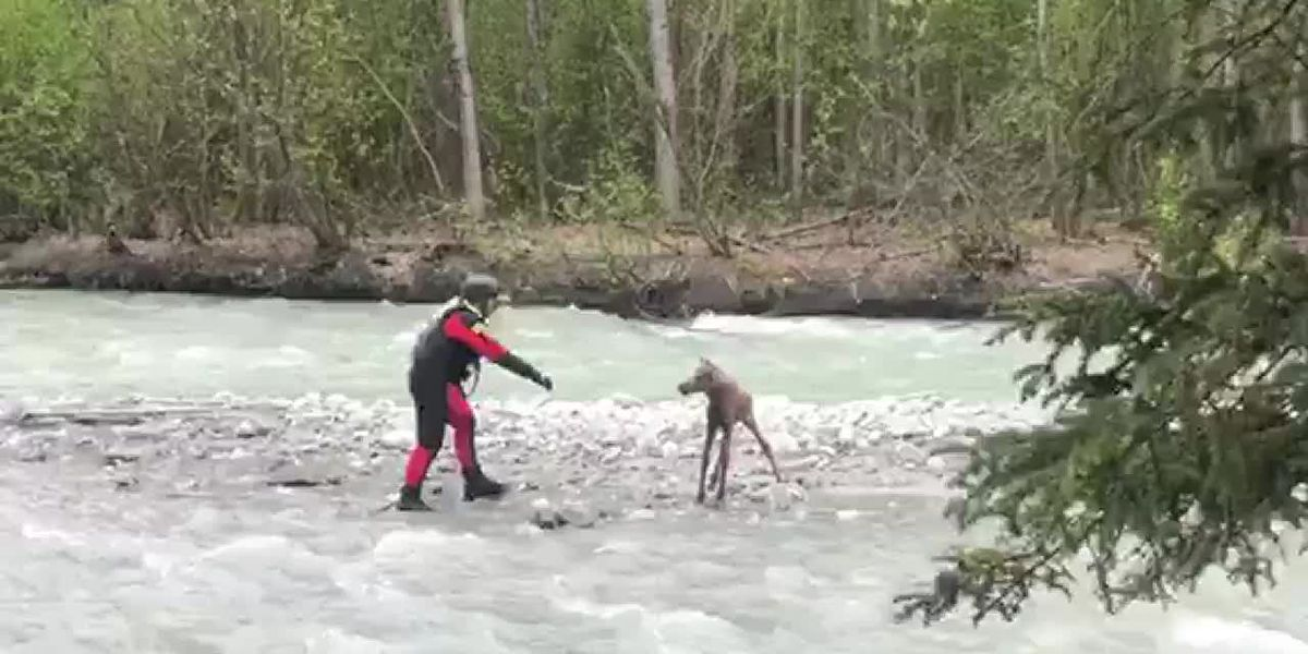Alaska Dive Search Rescue and Recovery Team rescues moose calf from raging river