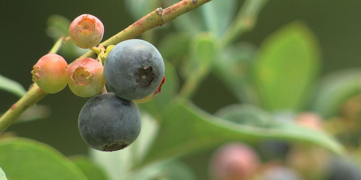 Biloxi blueberry farm gearing up for busy season