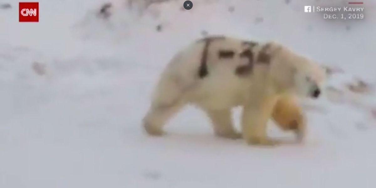Graffiti-painted polar bear roams Russian wilderness