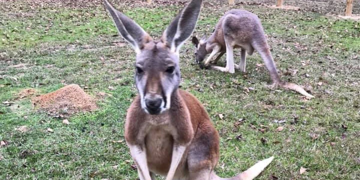 Catching up with JoJo the Kangaroo