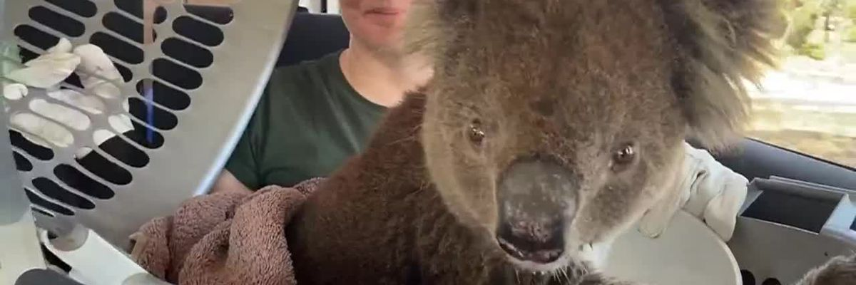Australian wildfires have devastating effects for millions of animals