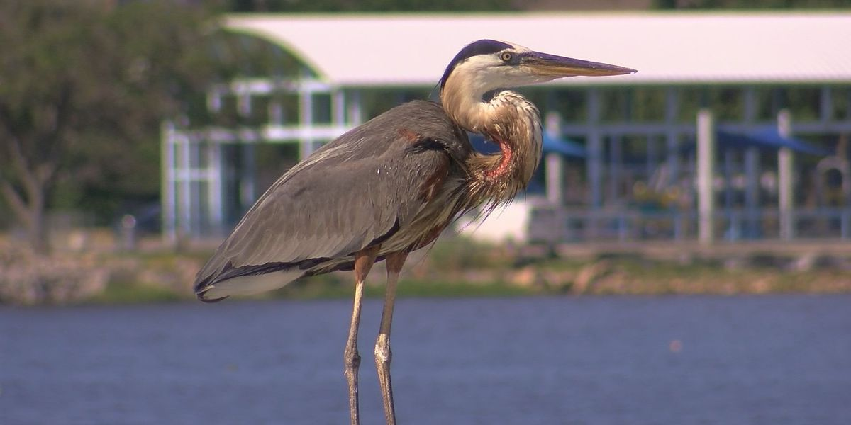 Injured great blue heron leads rescuers on weeks-long chase