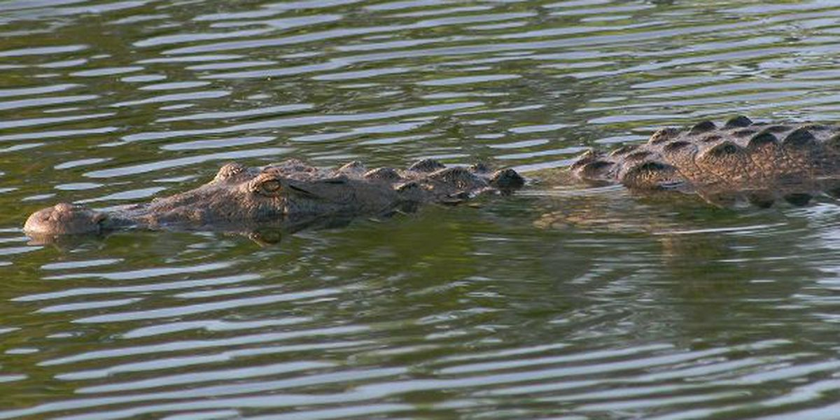 Mississippi's 15th annual alligator hunting season opens