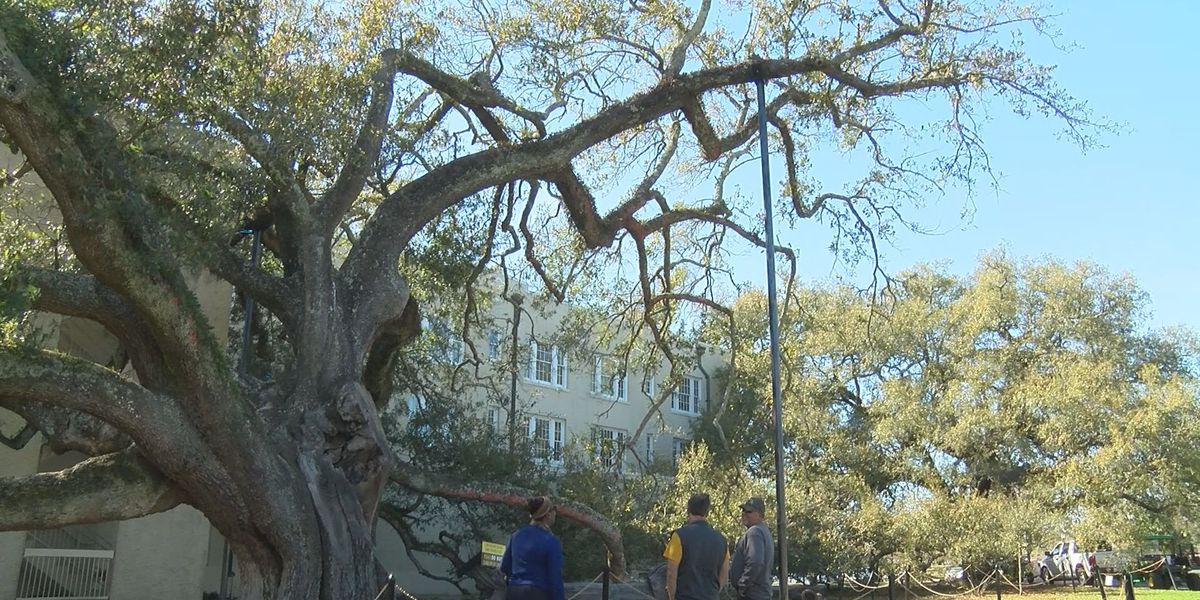 Iconic Friendship Oak showing signs of resilience
