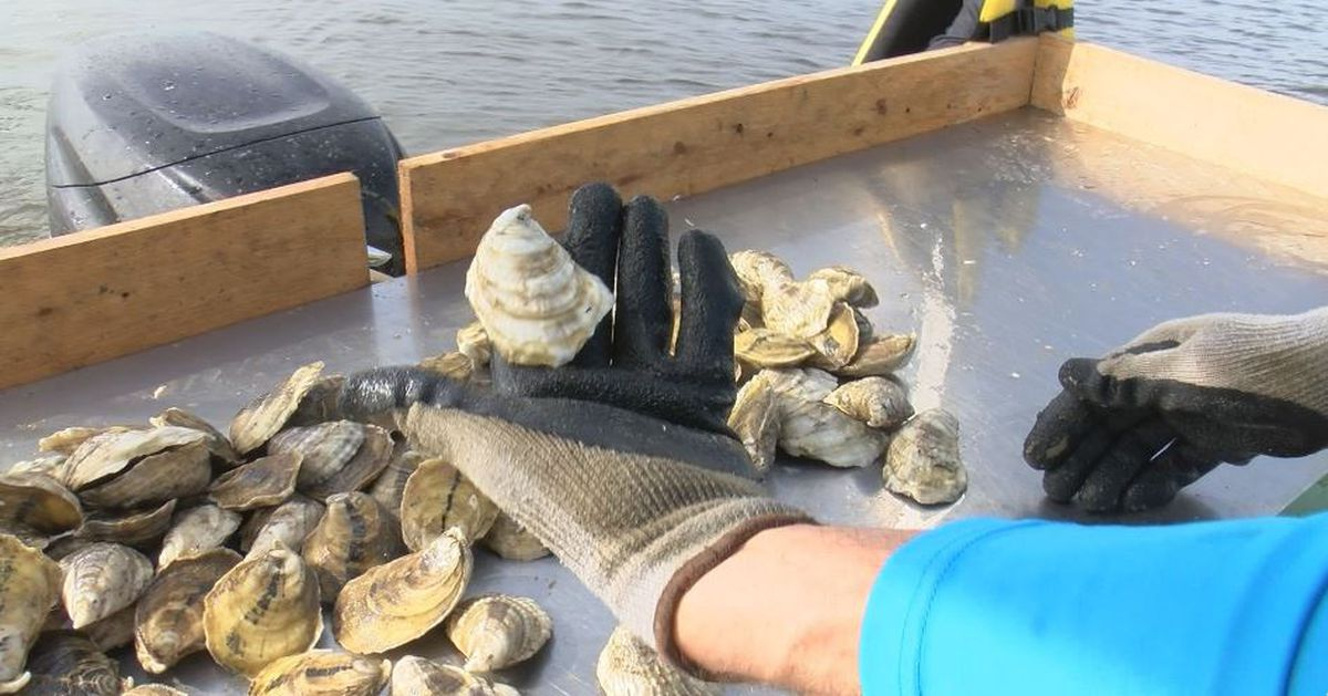 First off-bottom oyster harvest since spillway disaster looking good