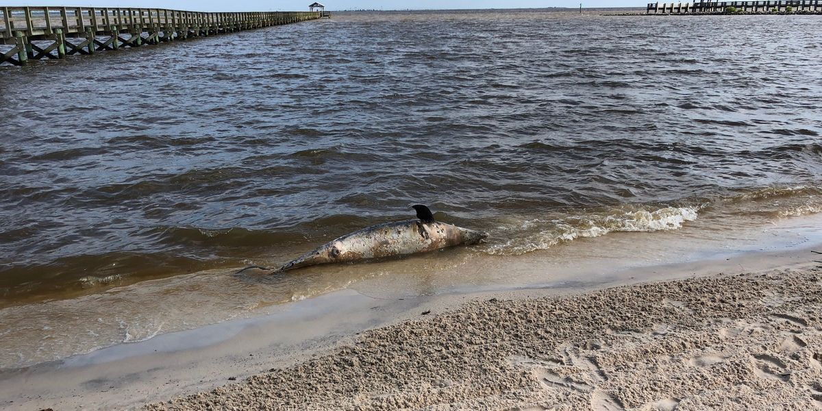 Nearly 300 dolphins dead on Gulf Coast, triple the usual number